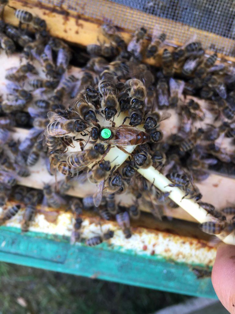 eine Bienenkönigin mit grüner 3