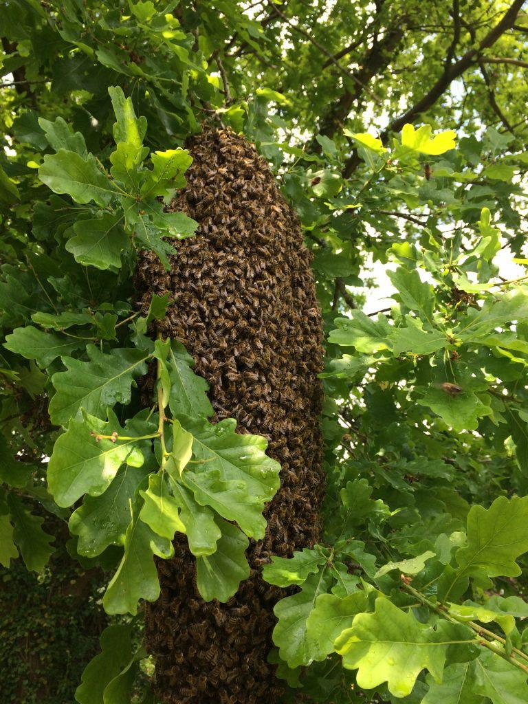 Bienentraube in einer Eiche